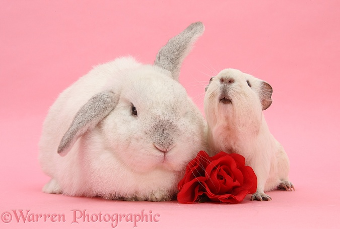 White Guinea pig and white rabbit, on pink background, with a rose