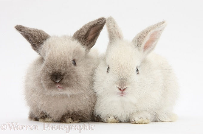 White and grey baby rabbits, white background