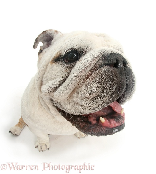 Bulldog staring you in the face, white background
