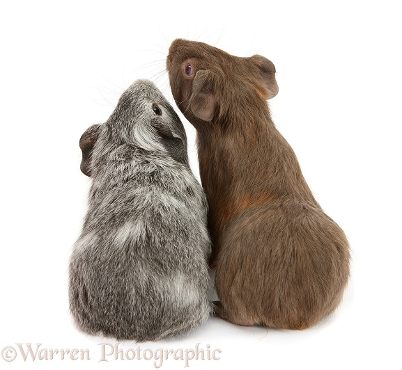 Silver and chocolate baby Guinea pigs, back view, white background
