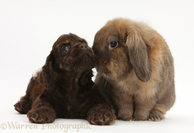 American Cocker Spaniel pup and Lionhead-cross rabbit, white background