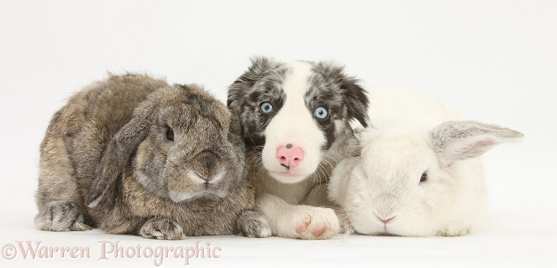 Blue merle Border Collie puppy, Reef, with rabbits, white background