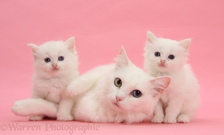 White Maine Coon-cross mother cat, Melody, and her white kittens on pink background