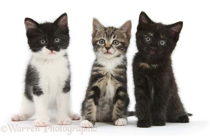 Three kittens together, white background