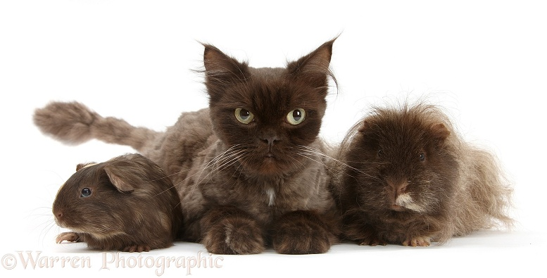 Chocolate cat, Chanel, and sandy-chocolate Guinea pigs, white background