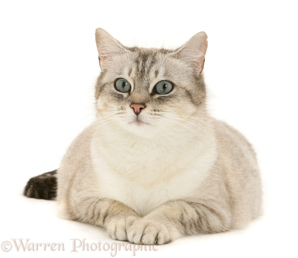 Pregnant female cat, Spice, lying with head up, white background