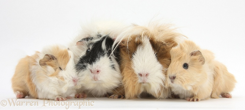 Long-haired mother and father Guinea pig with babies, white background