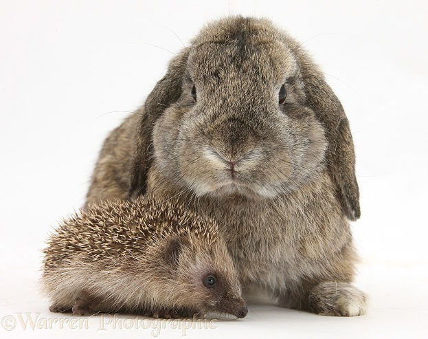 Baby Hedgehog and agouti Lop rabbit, white background