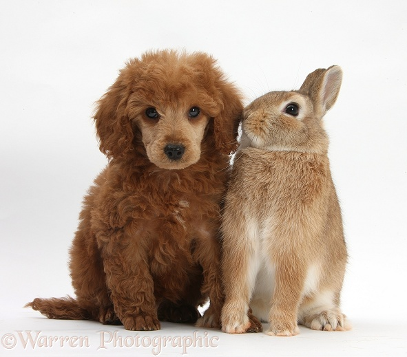 Apricot miniature Poodle pup, Ruebin, 8 weeks old, with Netherland dwarf-cross rabbit, Peter, white background