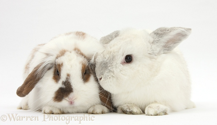 White and brown-and-white rabbits, white background