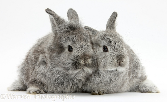 Two silver young rabbits, white background