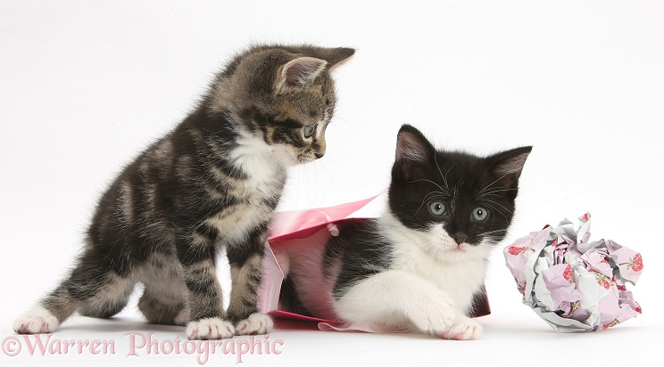 Tabby and black-and-white kittens playing with birthday gift bag and wrapping paper, white background