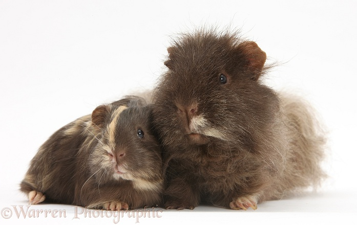 Chocolate shaggy Guinea pig and baby, white background