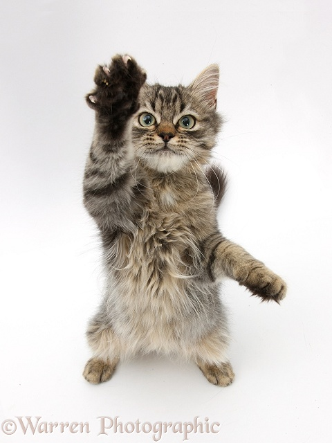 Tabby kitten, Beebee, 5 months old, standing up with raised paw, white background