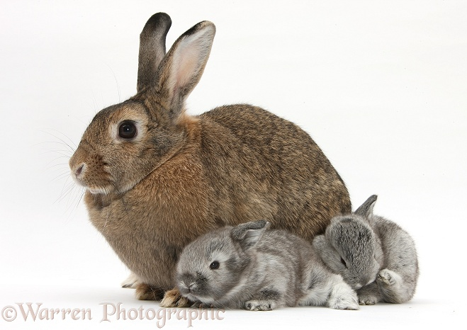 Agouti mother rabbit with two silver babies, white background