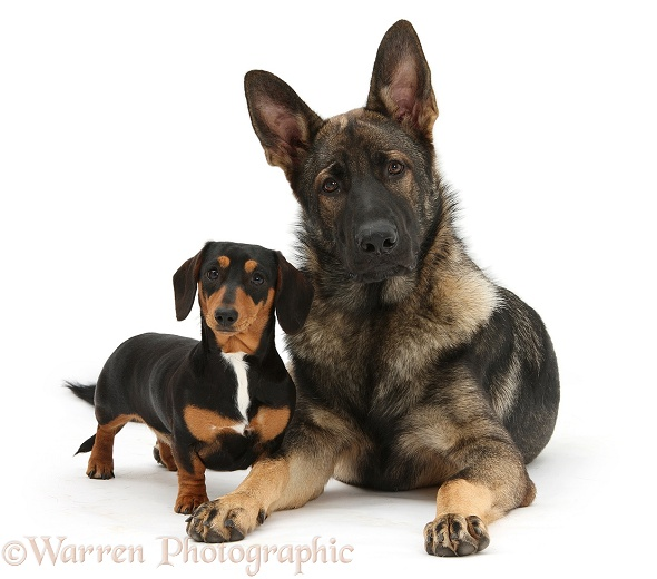 Tricolour Dachshund, Lola, with German Shepherd Dog, Buster, white background