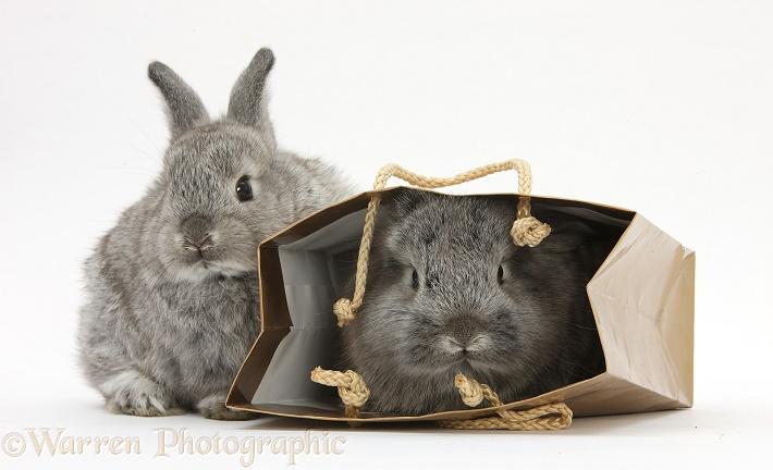 Tow silver young rabbits playing in a gift bag, white background