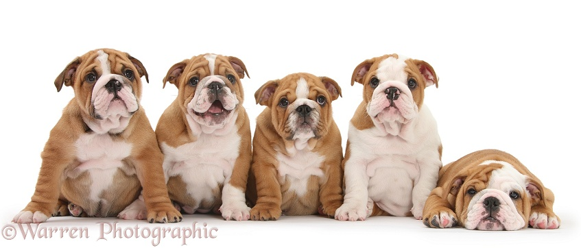 Five Bulldog pups, 8 weeks old, white background