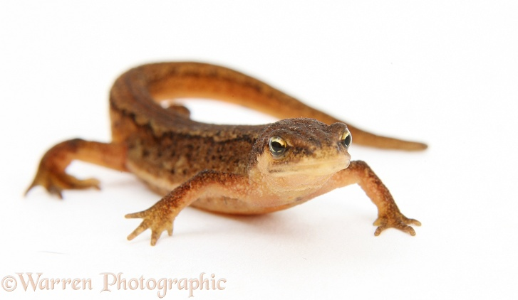 Common or Smooth Newt (Triturus vulgaris), white background