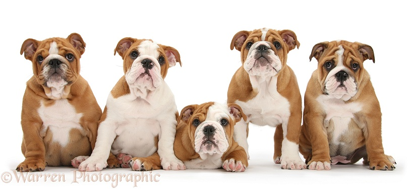 Five Bulldog pups, 11 weeks old, white background