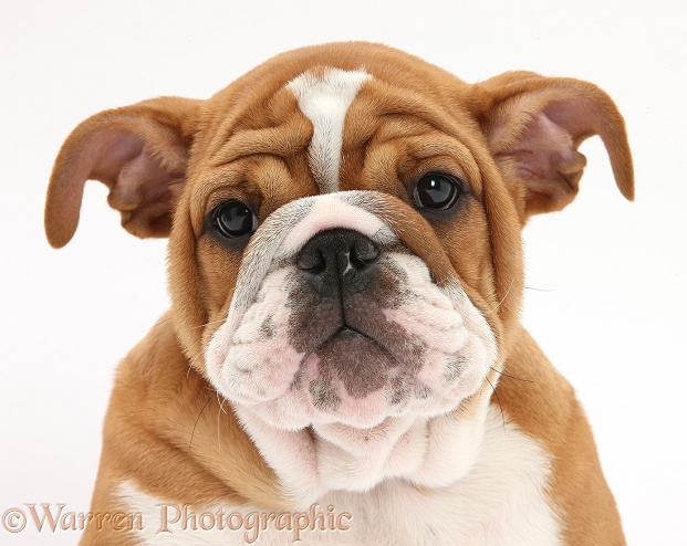 Bulldog pup, 11 weeks old, white background
