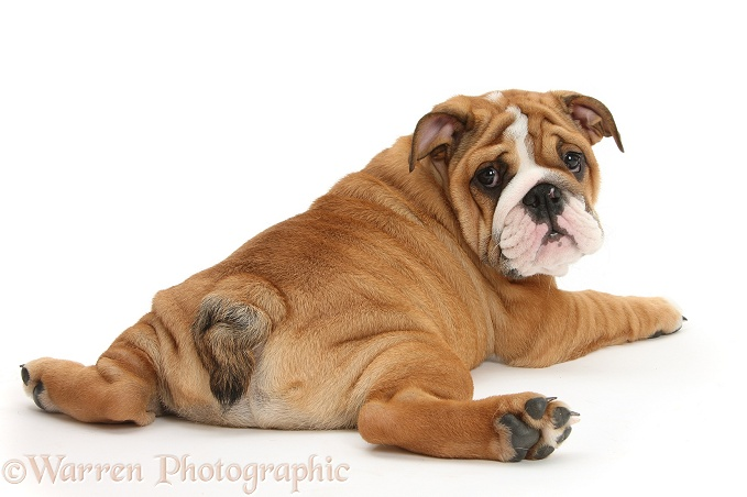 Bulldog pup, 11 weeks old, sprawled out and looking round, white background