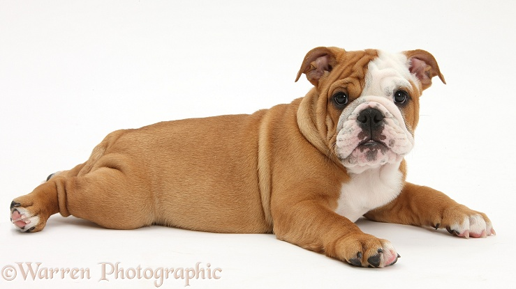 Bulldog pup, 11 weeks old, lying with head up, white background