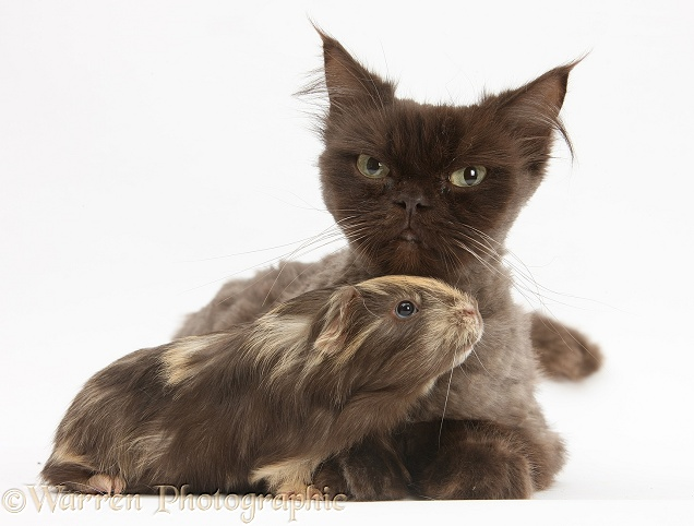 Chocolate cat, Chanel, and young sandy-chocolate Guinea pig, white background