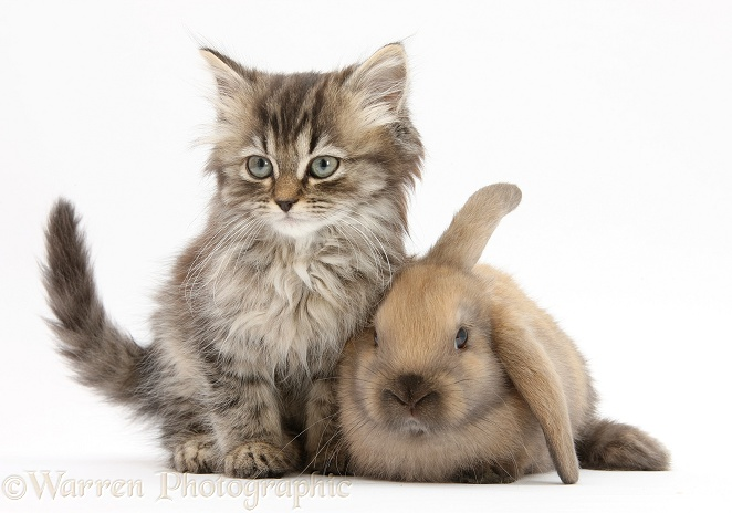 Tabby kitten, Beebee, 10 weeks old, and young rabbit, white background