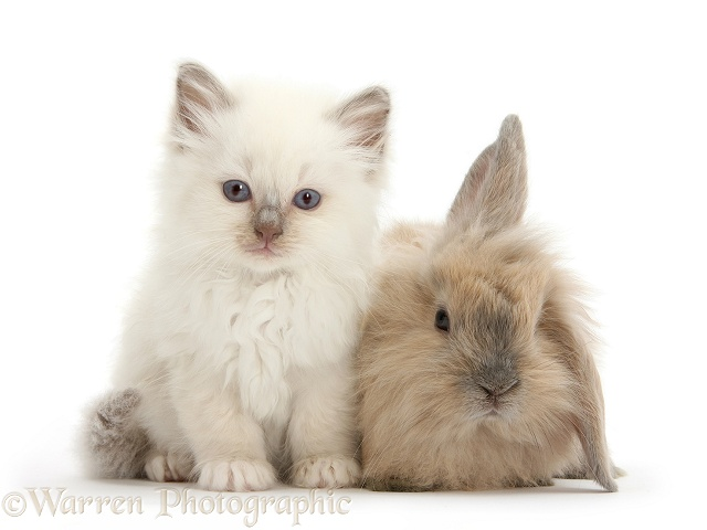Young windmill-eared rabbit and colourpoint kitten, white background