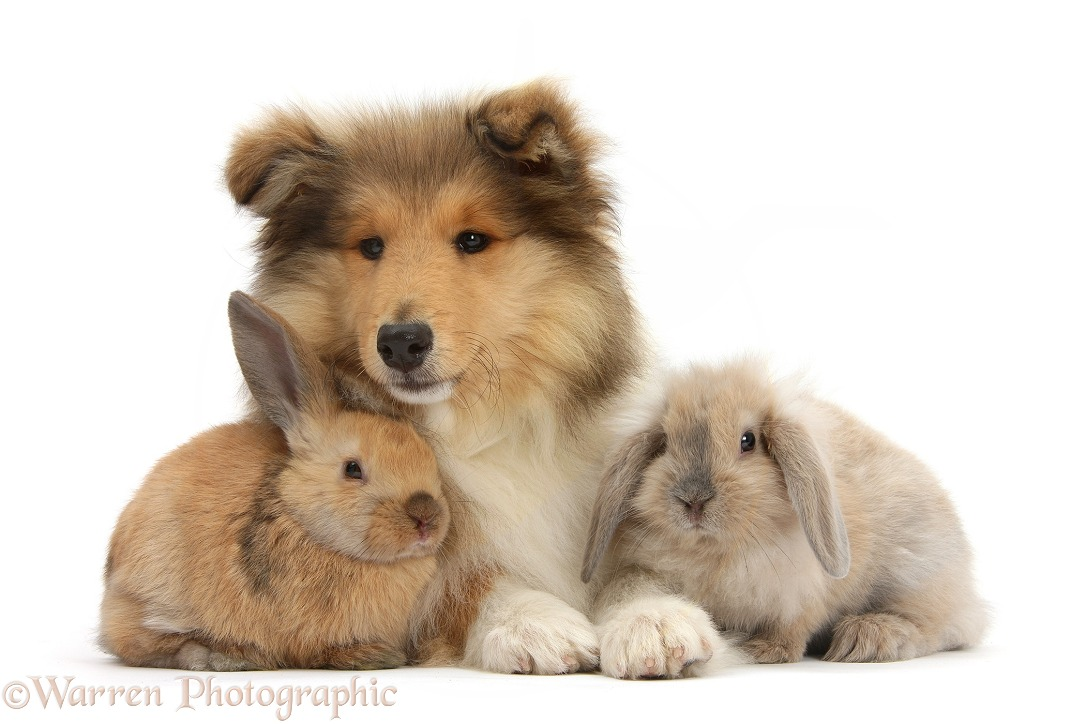 Rough Collie pup, Laddie, 14 weeks old, with two young rabbits, white background