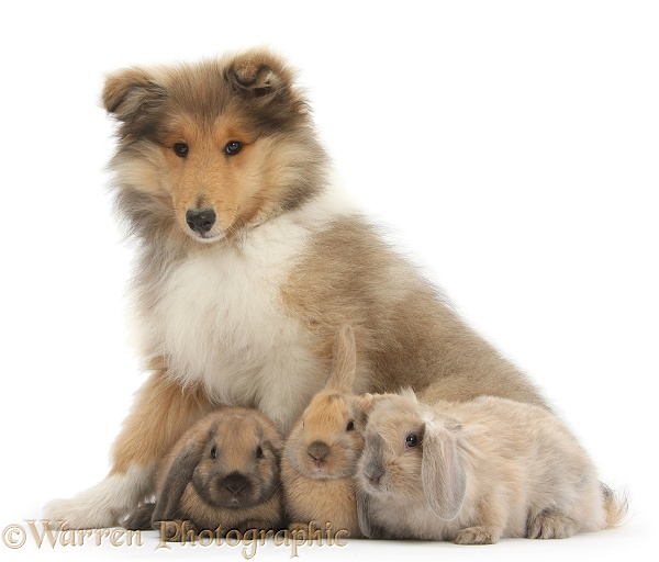 Rough Collie pup, Laddie, 14 weeks old, with three young rabbits, white background