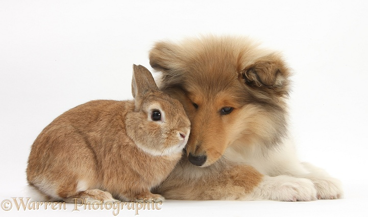 Rough Collie pup, Laddie, 14 weeks old, with sandy Netherland dwarf-cross rabbit, Peter, white background