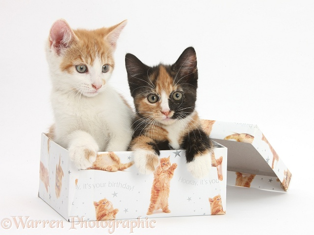 Ginger-and-white and tortoiseshell kittens in a birthday box, white background