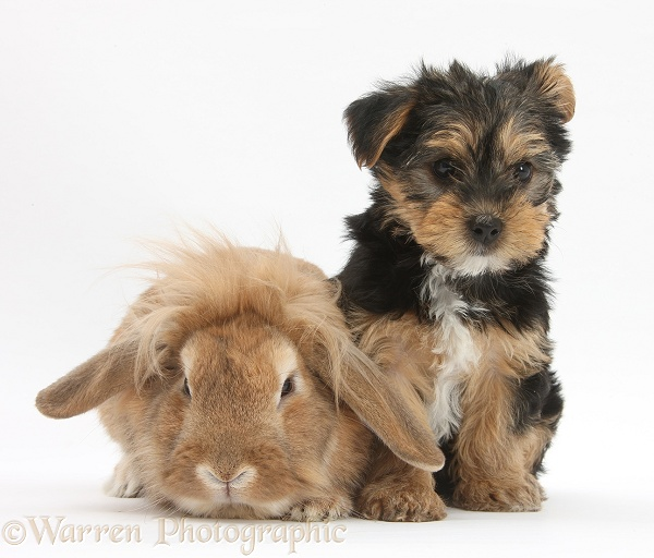 Yorkshire Terrier pup, Evie, 8 weeks old, with sandy Lionhead-cross rabbit, white background