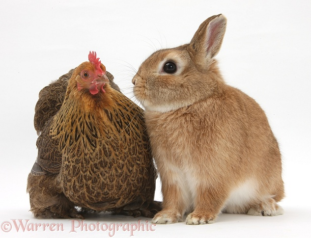 Partridge Pekin Bantam with Sandy Netherland dwarf-cross rabbit, Peter, white background