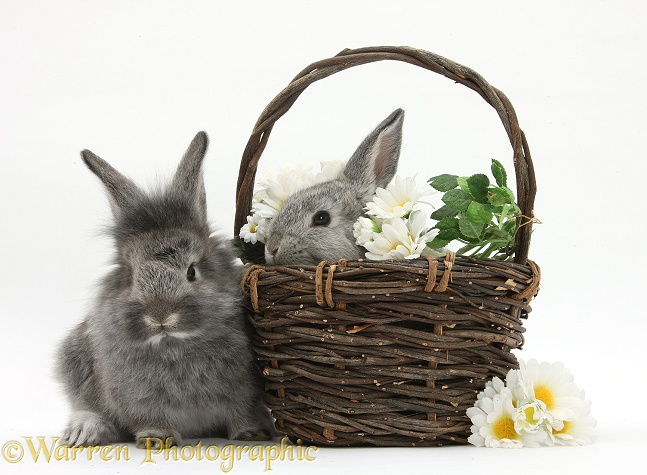 Young Silver Lionhead rabbits in a basket with flowers, white background