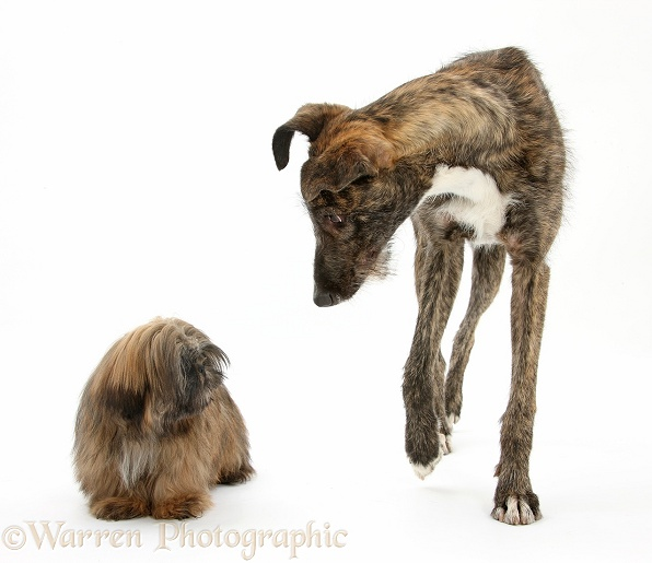 Brindle Lurcher and brown Shih-tzu