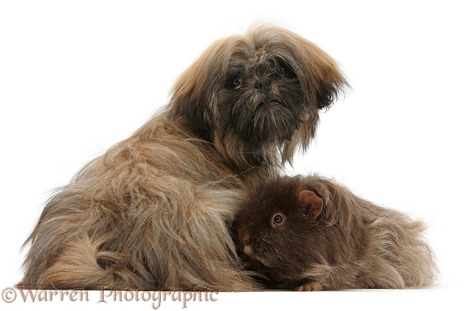 Brown Shih-tzu, Coco, 5 months old, with shaggy Guinea pig, white background