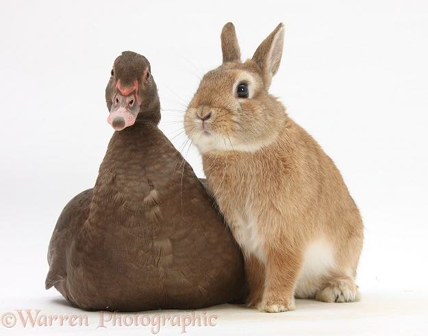 Chocolate Muscovy Duck and Netherland Dwarf-cross rabbit, Peter, white background