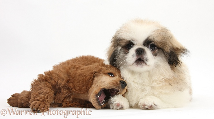 Parti colour Pekingese pup, Kiki, 11 weeks old, and Apricot miniature Poodle pup, Ruebin, 8 weeks old, white background
