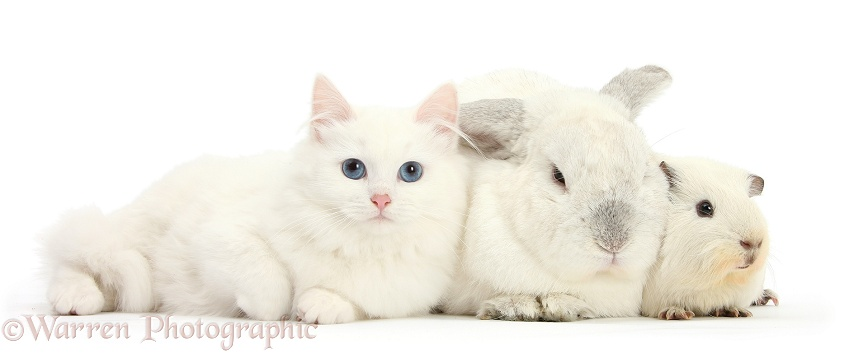 White Maine Coon-cross kitten with white rabbit and white Guinea pig