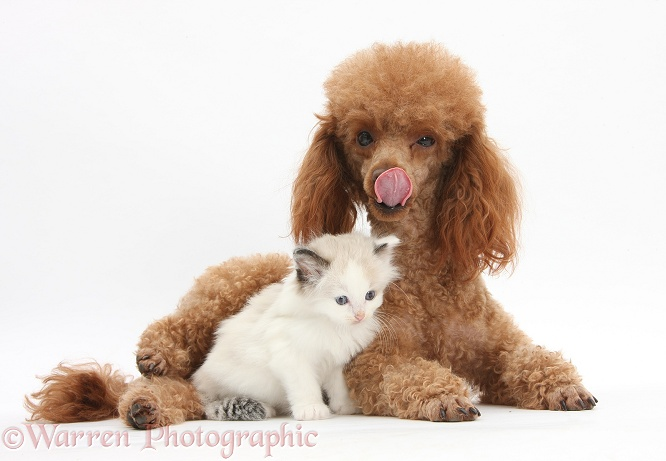 Red toy Poodle dog, Reggie, and Ragdoll-cross kitten, 5 weeks old, white background