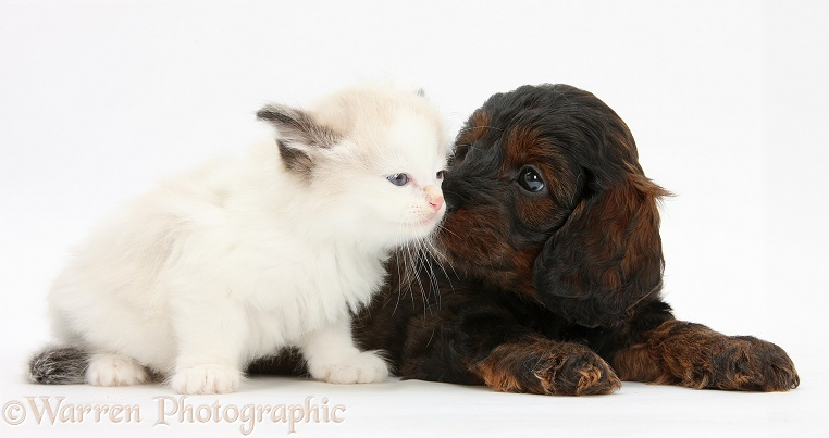 Cockapoo pup and Ragdoll-cross kitten, white background