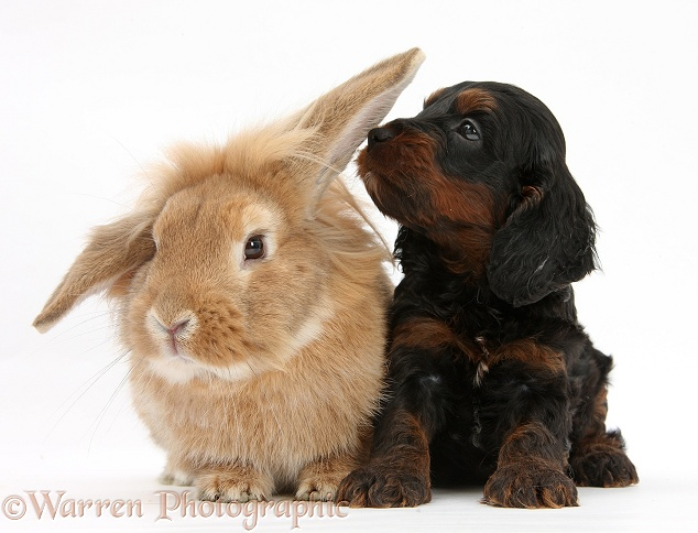 Cockapoo pup and Lionhead-Lop rabbit