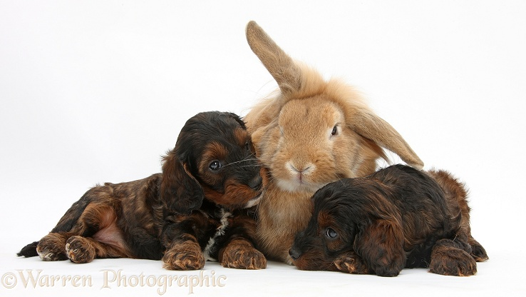 Cockapoo pups and Lionhead-Lop rabbit