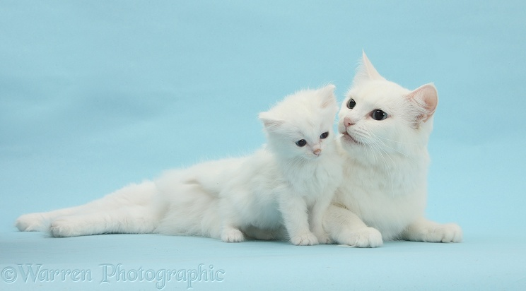 White Maine Coon-cross mother cat, Melody, with her kitten, 7 weeks old, on blue background