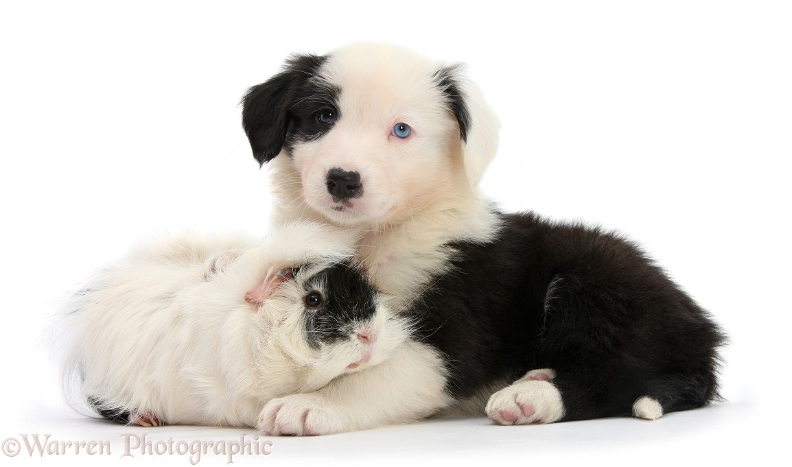 Black-and-white Border Collie puppy, 6 weeks old, and black-and-white Guinea pig, white background