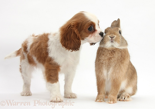 Blenheim Cavalier King Charles Spaniel pup, Harvey, 11 weeks old, with Netherland dwarf-cross rabbit, Peter, white background