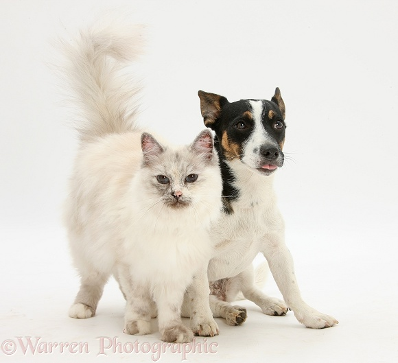 Birman cat, Tallulah, with Jack Russell Terrier bitch, Rubie, white background